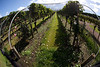 In the vineyard at 'Wild on Waiheke' winery & brewery