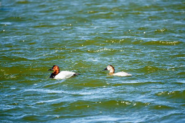 180127 Pea Island National Wildlife Refuge 15