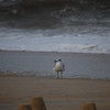 A mama seagull on the beach by our house