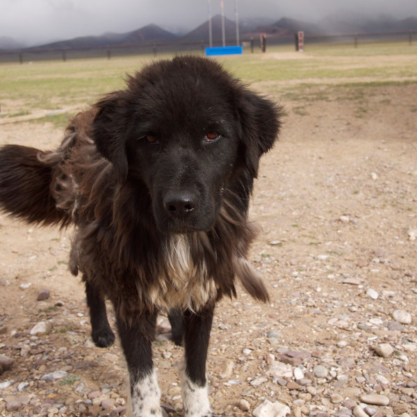 tibetan mastiff.  he seems to be molting to rid his winter coat.  we named him zoom lion.