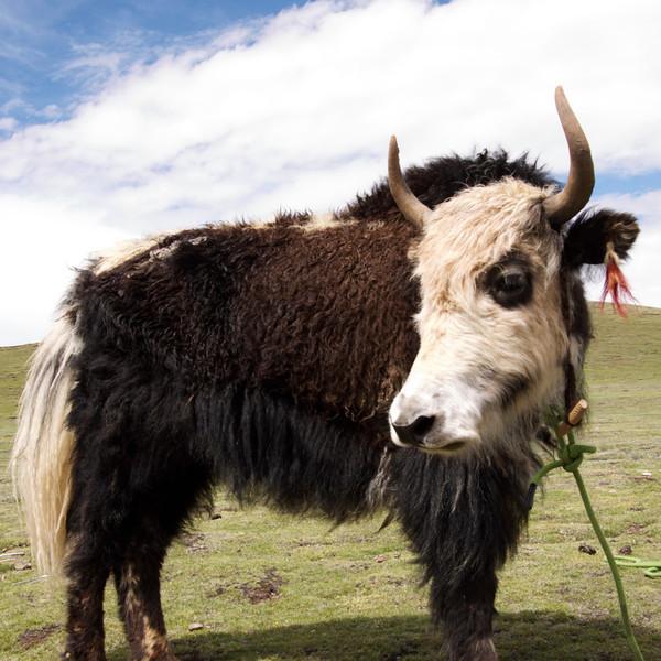one of my favorite yaks