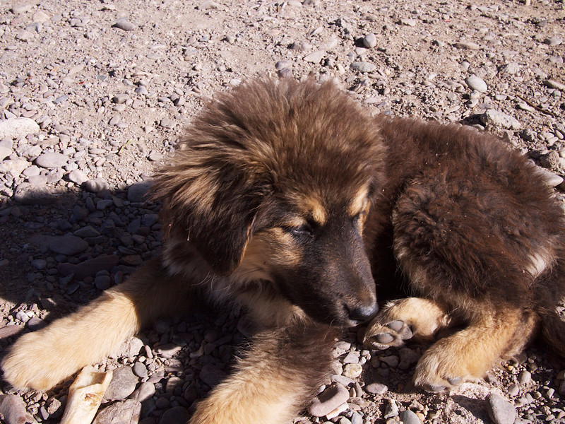 when we got back to nam tso after our month's absence there were puppies!!