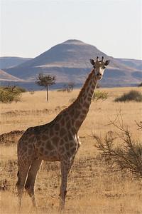 Giraf langs de weg in Damaraland. Palmwag, Namibië.