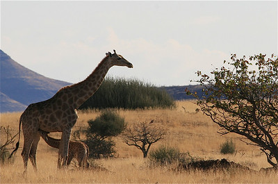 Moeder en jong langs de weg in Damaraland. Palmwag, Namibië.
