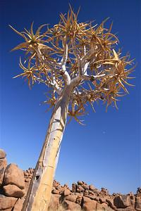 Kokerboom bij daglicht. Giants' PlayGround, Namibië.