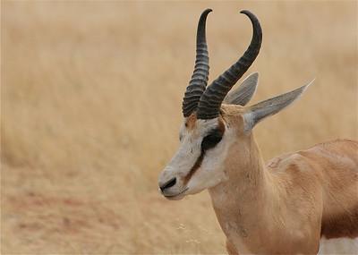 Springbok, Namibië.