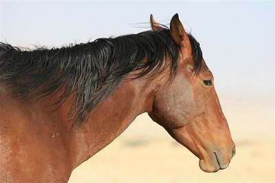 Feral Desert Horse (woestijnpaard). Aus, Namibië.