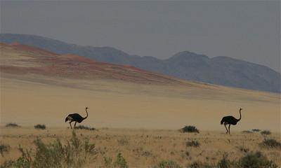 Struisvogels in overvloed. D707, Namibië.