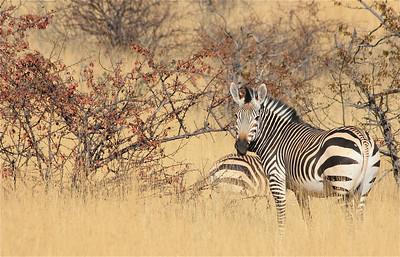 Hartmann Mountain Zebra langs de weg in Damaraland. Palmwag, Namibië.