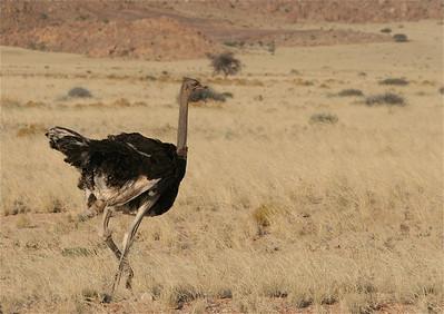 Struisvogel. Aus, Namibië.