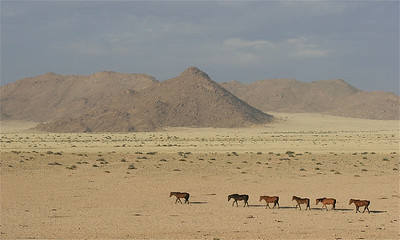Feral Desert Horses op weg naar water. Ausgebergte, Namibië.
