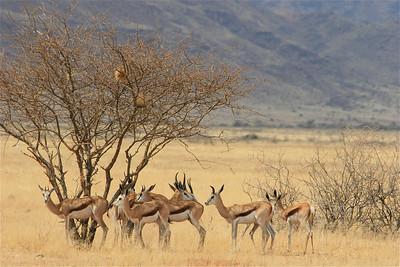 Springbokkies zoeken de ver te zoeken schaduw. Namibië.