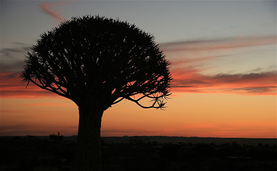 Kokerboom bij zonsondergang. Keetmanshoop, Namibië.