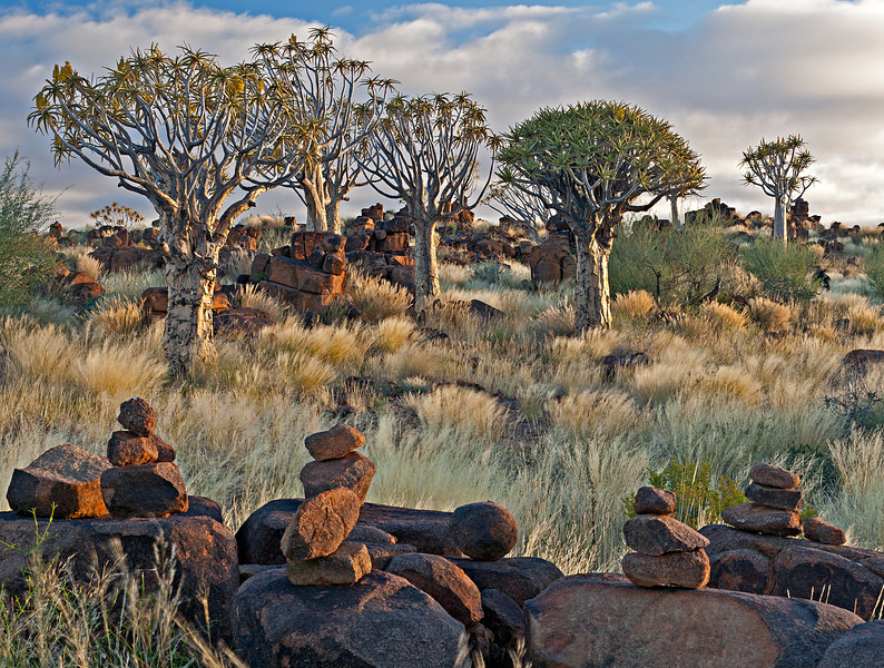 The quiver tree, or kokerboom, is a species of aloe. The Quiver Tree Forest is a national monument.