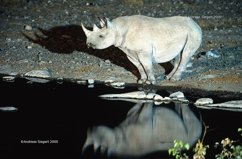 Rhino at the waterhole at night, Etosha, July 2000