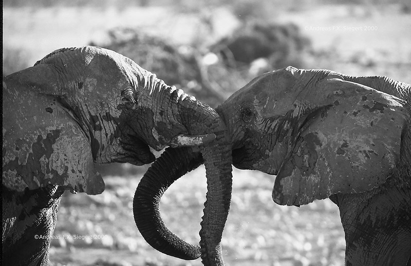 Elephants at Etosha, July 2000