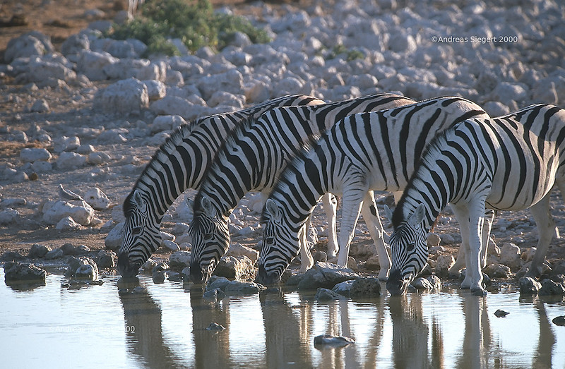 Zebras at the waterhole<br /> Etosha, July 2000