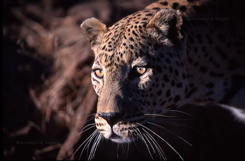 Leopard @Düsternbrok game farm