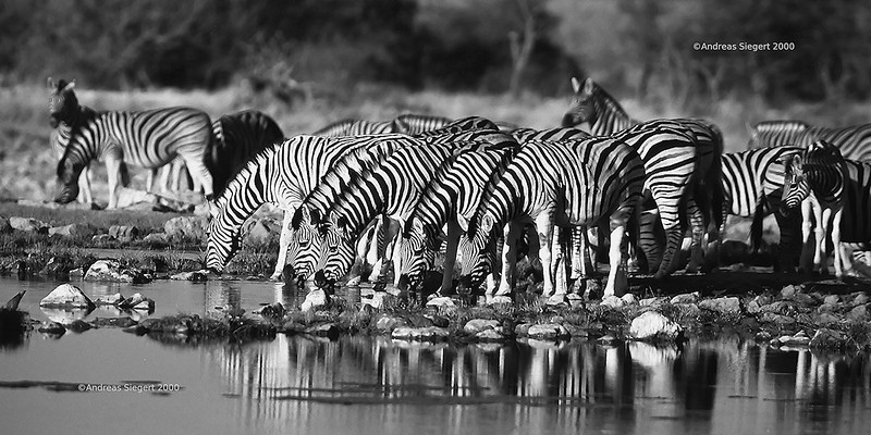 Zebras at Etosha, July 2000