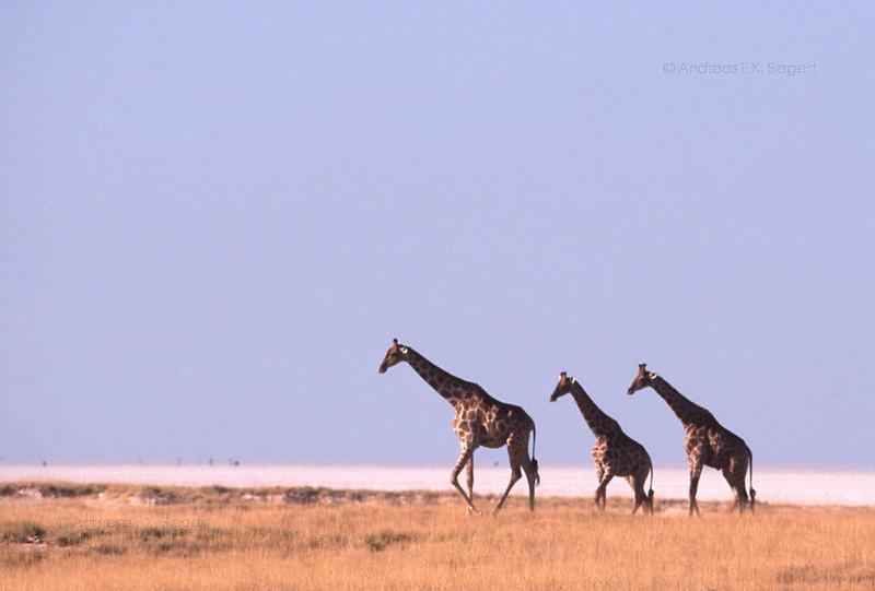 Giraffes at Etosha