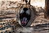 Radio-collared Male Cheetah
