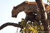 Leopard and its Kill in a Tree