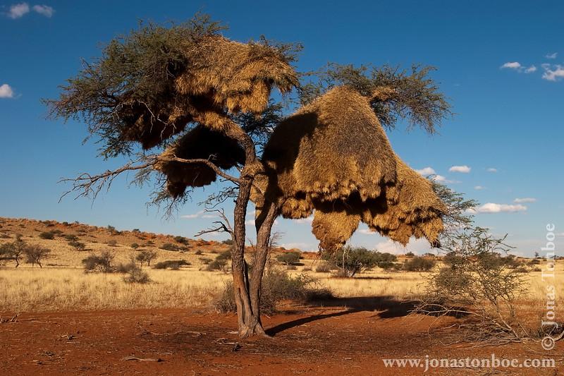 Weaver Birds Nest