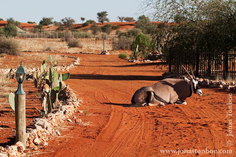 Oryx aka Gemsbok