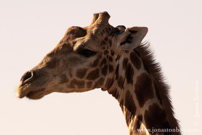Namibian Giraffe aka Angolan Giraffe