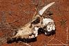 Dead Hartebeest