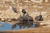 Helmeted Guinea Fowl at Waterhole