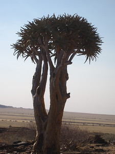 Quiver tree.  Branches are hollow and arrows are traditionally placed in a branch.  Namibia