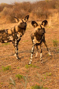 Alpha female African Wild Dog and her friend, Namibia