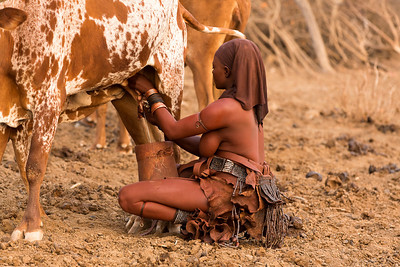 Himba mother milking cow for breakfast, Namibia