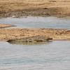 Crocodile Stealthily Wading, Erindi Private Game Reserve, Khomas Region