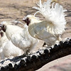 Silkie Chickens, Fiume Lodge and Game Farm, Otavi Mountain Region