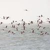 Flamingos Take Flight, Walvis Bay Lagoon, Swakopmund