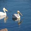 Pelicans, Walvis Bay Port, Swakopmund