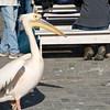 Pelican with Character, Walvis Bay Port, Swakopmund