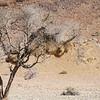 Sociable Weaver Sacs,  Namib Desert