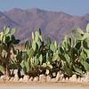 Cactus in Solitaire, Namib Desert