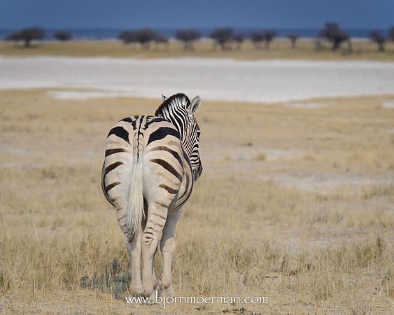 Zebra at Etosha Pan