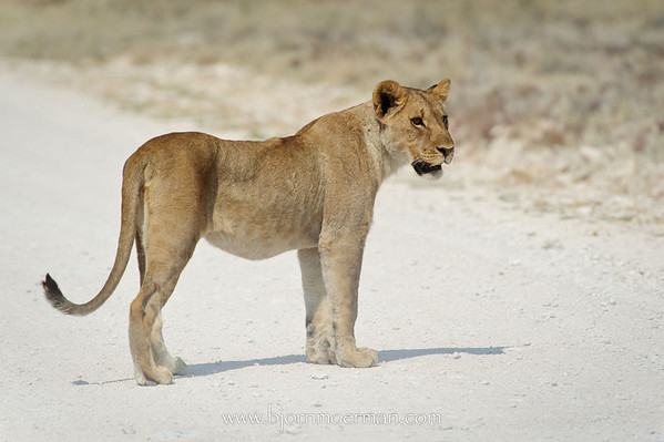 Lion between Salvadora & Sueda waterhole