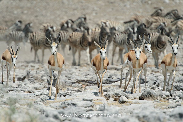 Springbok on the run at Etosha-Homob waterhole