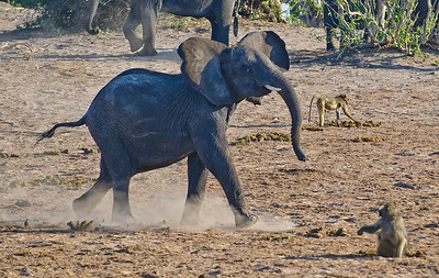 100_8408 Young elephant trying to scare the baboon, without much luck.