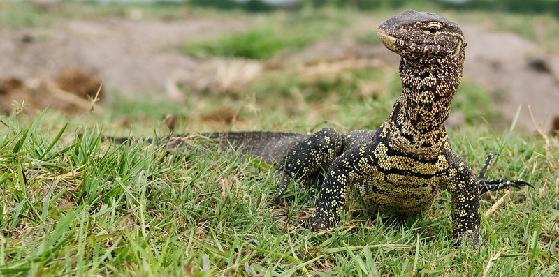100_8729<br /> Water Monitor