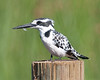 100_7846<br /> Another Pied Kingfisher