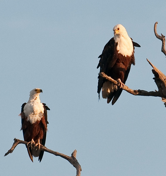 100_8526<br /> Two adult Fish Eagles.