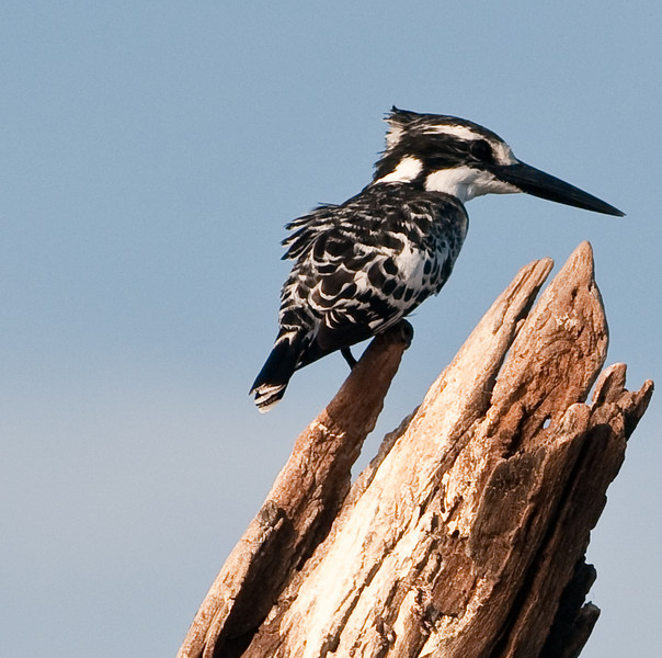 100_8475<br /> Another Pied Kingfisher