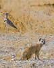 Yellow Mongoose with Three-banded Courser